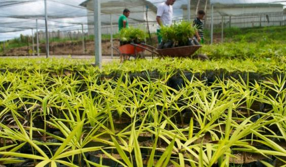 A state government initiative to assist in reforestation is supporting this acai nursery in Acre, Brazil. Kate Evans/CIFOR