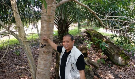 Dede Rohadi holds fruit of the jengkol tree (Archidendron pauciflorum), intercropped with oil palm (Elaeis guineensis). Photo: World Agroforestry Centre/Robert Finlayson