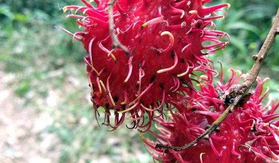 Rambutan on a farm with trees in West Kalimantan. Photo: World Agroforestry Centre/Robert Finlayson